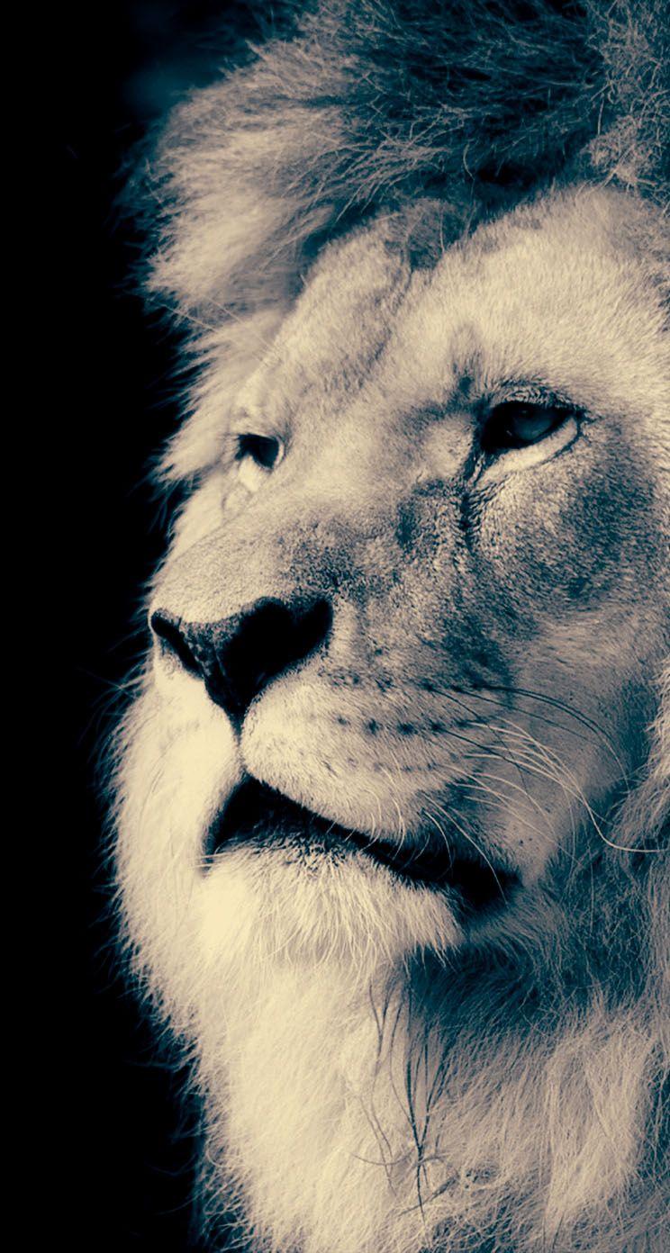 Majestic Lion IPhone Wallpaper