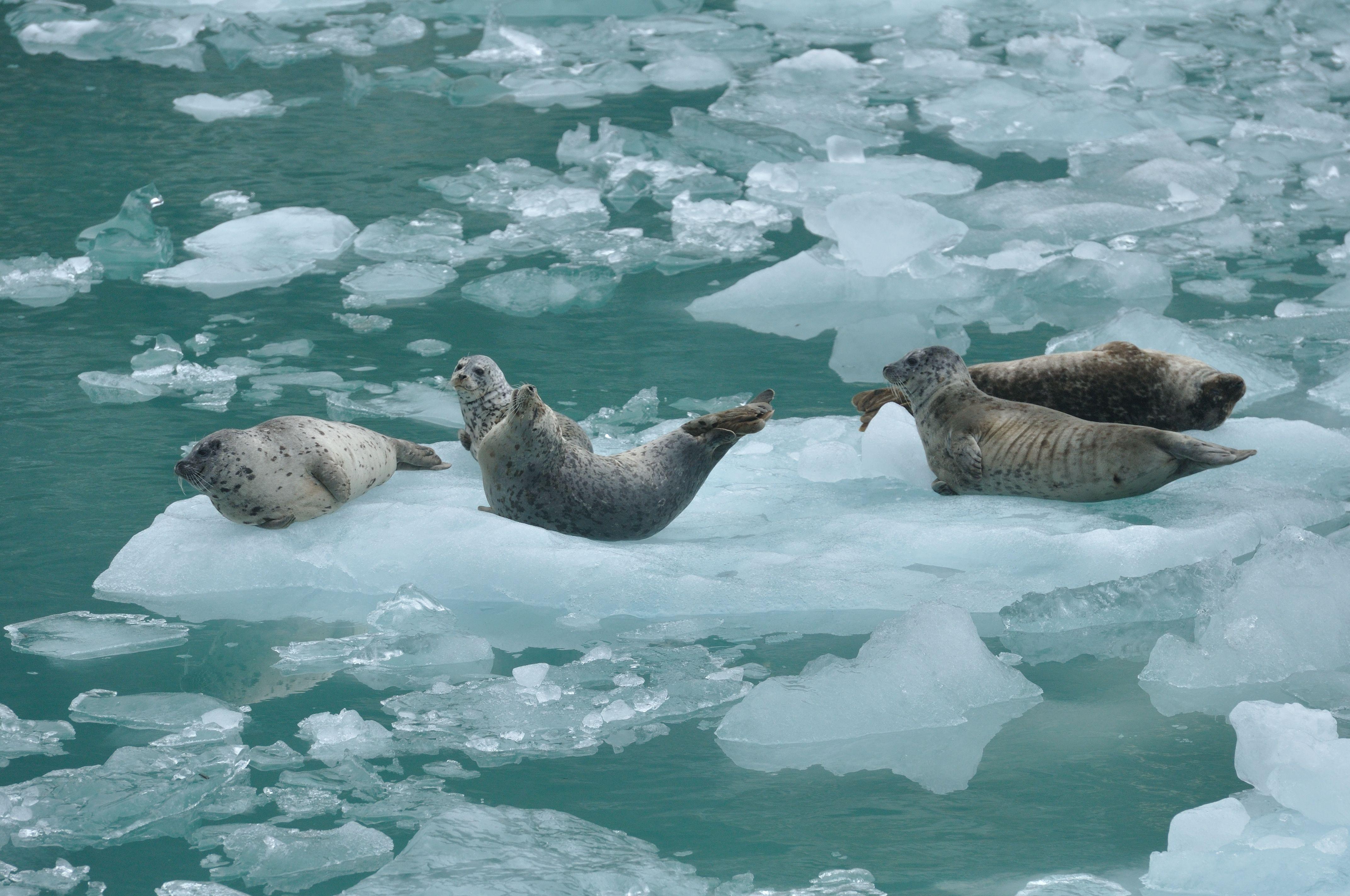 La fauna dels glaciars d'Alaska Alaska, Fauna, Rocosas