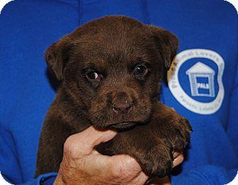 Parsons, KS - Labrador Retriever/Rottweiler Mix. Meet Rhett, a puppy for adoption. http://www.adoptapet.com/pet/14355094-parsons-kansas-labrador-retriever-mix