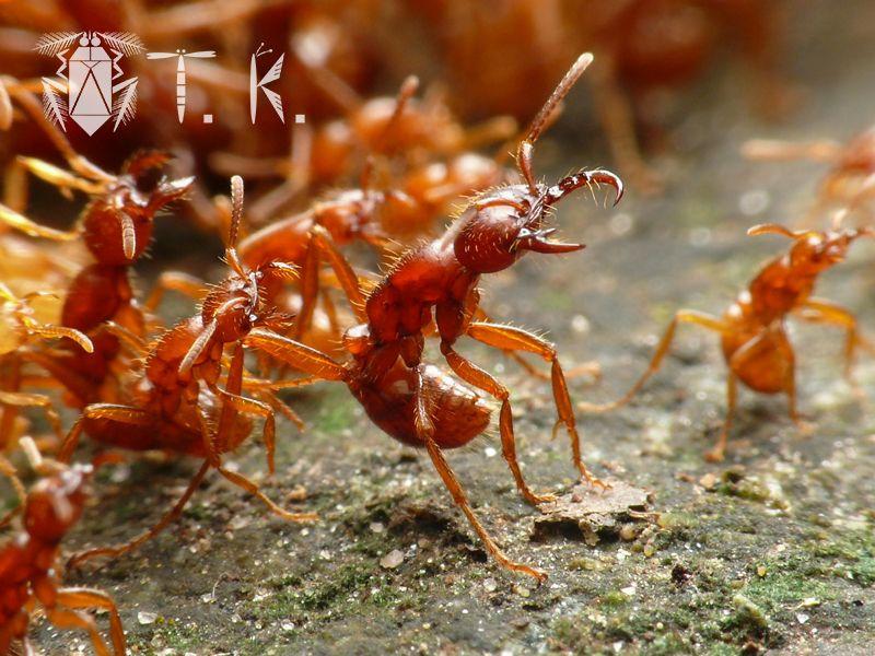 Cheliomyrmex Ant Army Ant Driver Ant 双想ノ唄ネオトロピクス 永遠