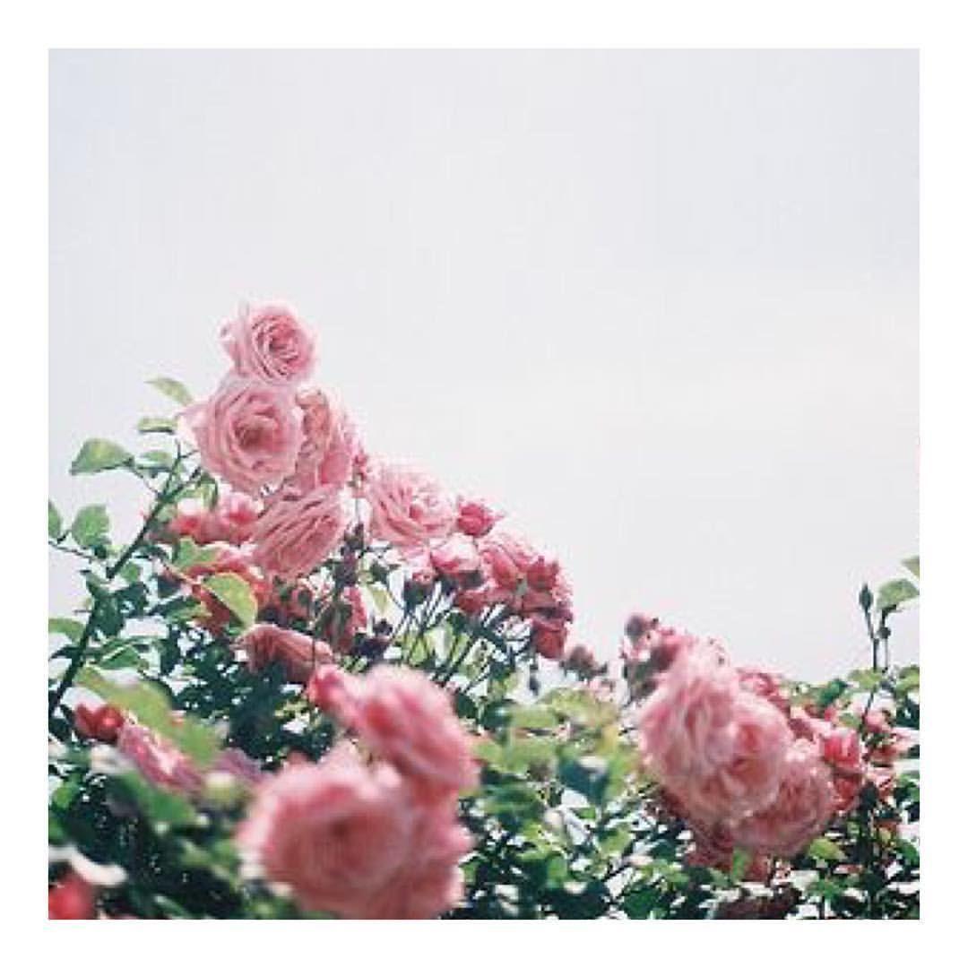 Garden goodness... #bellamummablooms #rose #garden