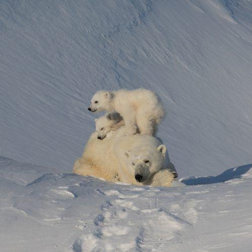 Polar Bear and Iceberg Photo Safari on Baffin Island   Arctic Kingdom
