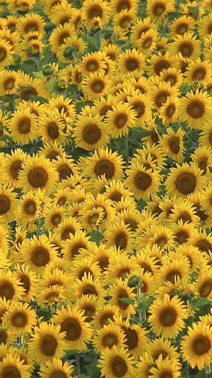 720x1280 magical beach gras hills ocean galaxy s3 wallpaper - Download Wallpaper 720x1280 Sunflowers Field Many Summer Samsung Galaxy S3 Hd Background