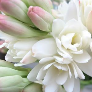 Polianthes tuberosa tuberoses are a night blooming perrenial with polianthes tuberosa tuberoses are a night blooming perrenial with tall flower gardening tips pinterest cut flowers creamy white and bears mightylinksfo