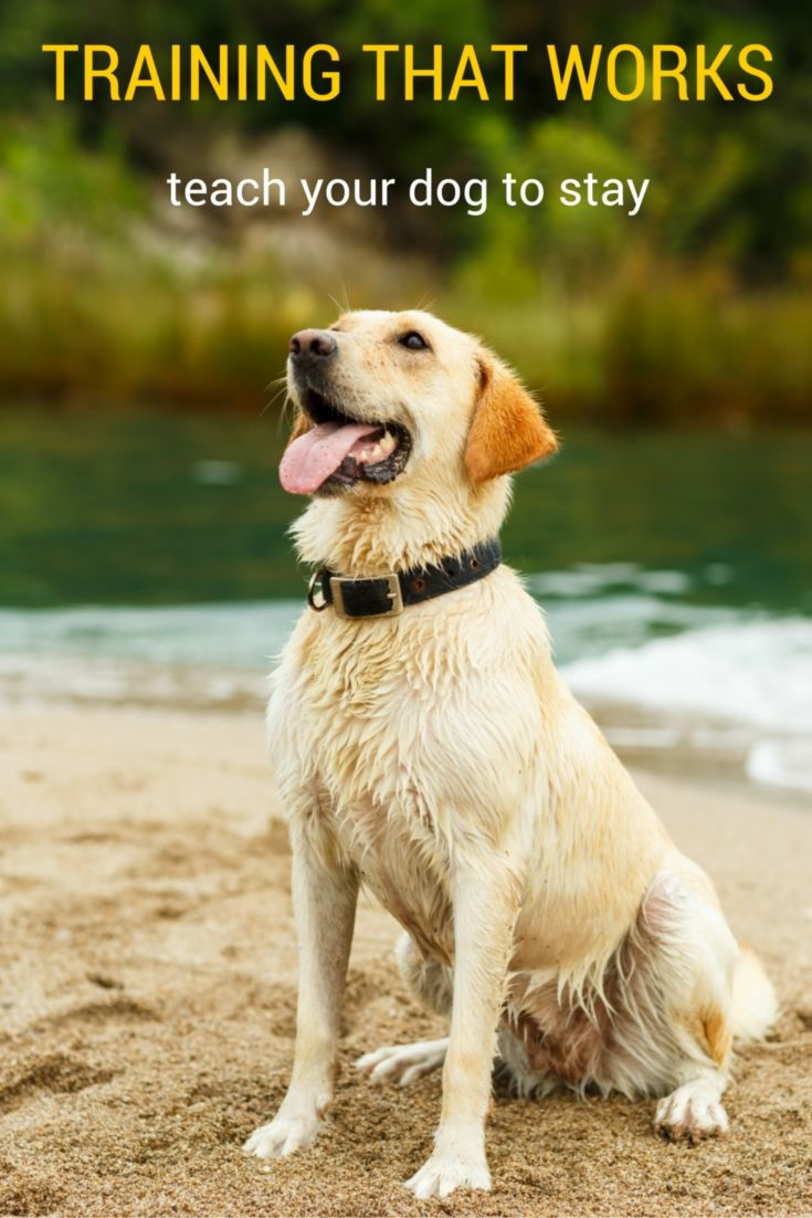 How To Teach A Dog To Stay Dog Training Tips Dog Training