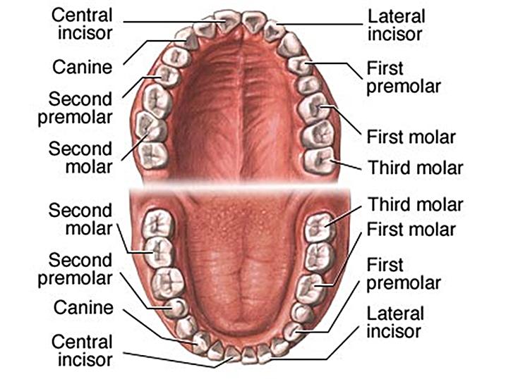 Hermosa Human Teeth Anatomy Adorno Anatoma De Las Imgenesdel