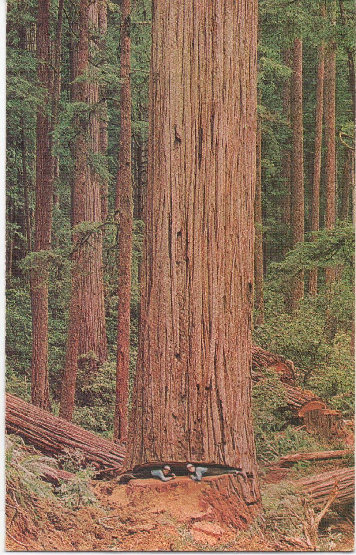 California Redwood Tree Unused Postcard c1970s good shape ...
