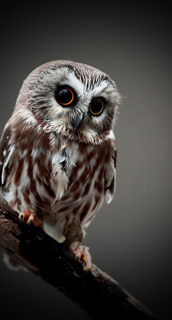 Pin by Judy Henry on Nature Owl wallpaper, Owl