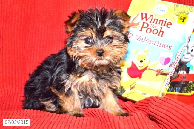 Yorkshire Terrier Puppy For Sale In Indiana Yorkshire Terrier Puppies Terrier Puppy Puppies For Sale