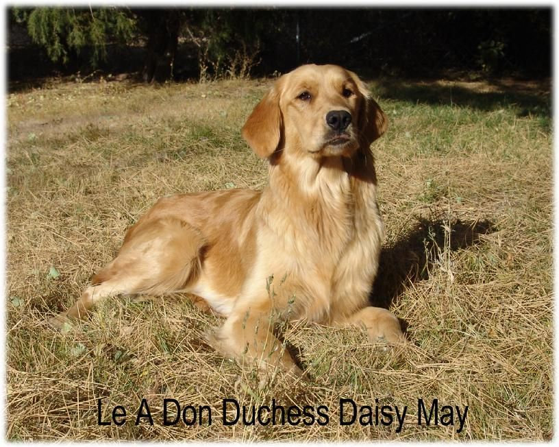 golden retriever pups for sale colorado Golden retriever