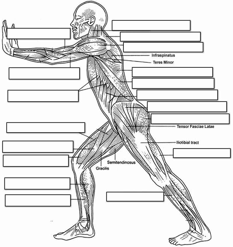 label the muscles of the body side view School – Muscle Labeling Worksheet