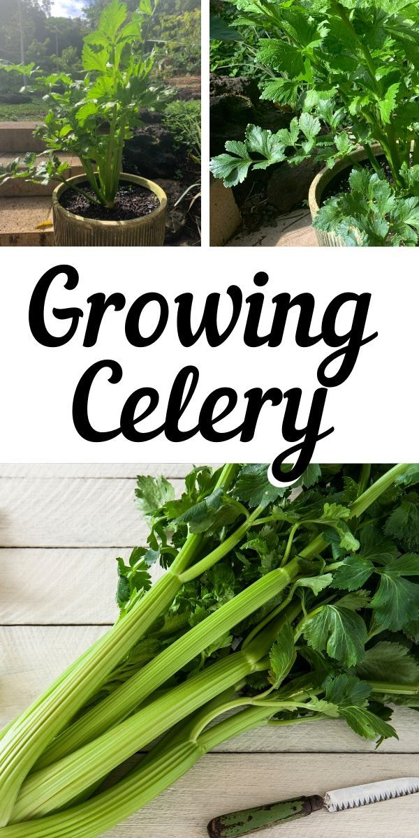 Growing Celery in the Home Garden
