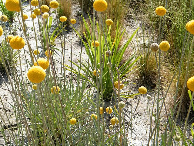Flickriver Searching For Photos Matching Pycnosorus Planting Flowers Plants Billy Buttons