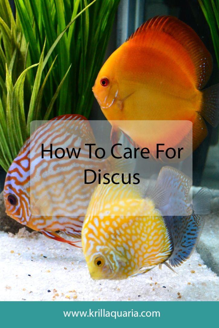 Freshwater aquarium fish maintenance - Discus Maintenance A Rundown Of The Maintenance We Perform On Our 150 Gallon Discus Aquarium