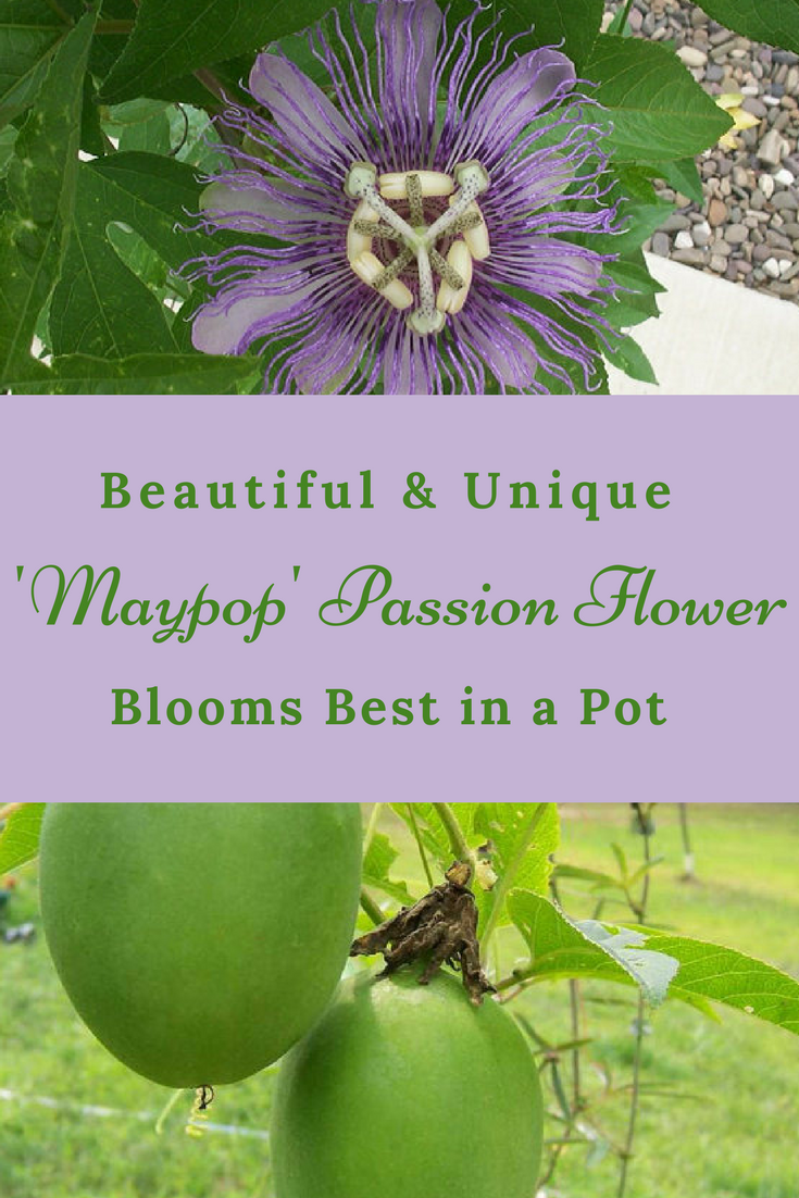 The Very Unique Variety Of This Passion Flower Produces Beautiful