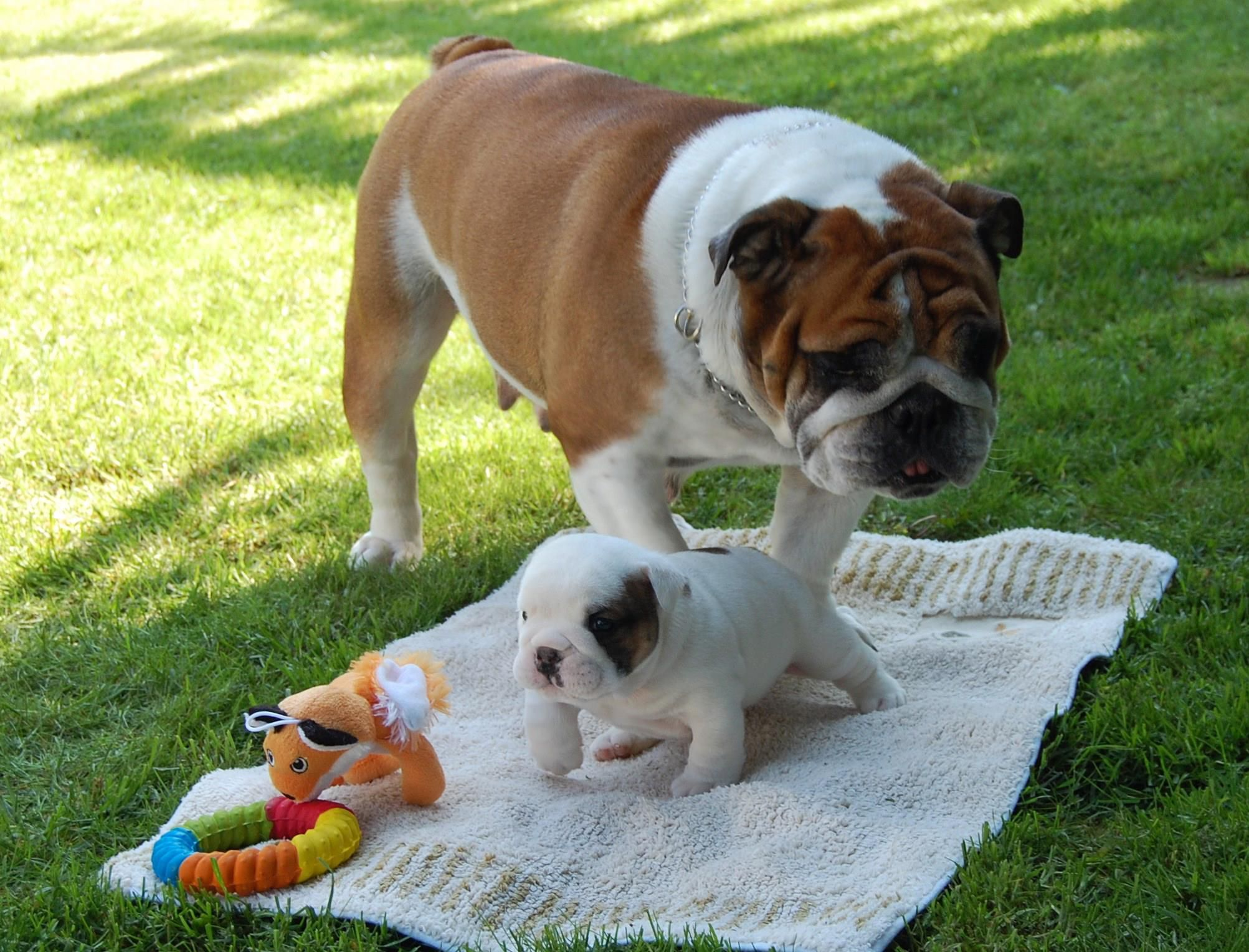 Pin by Cheryl on English Bulldogs Cute animals, Bulldog