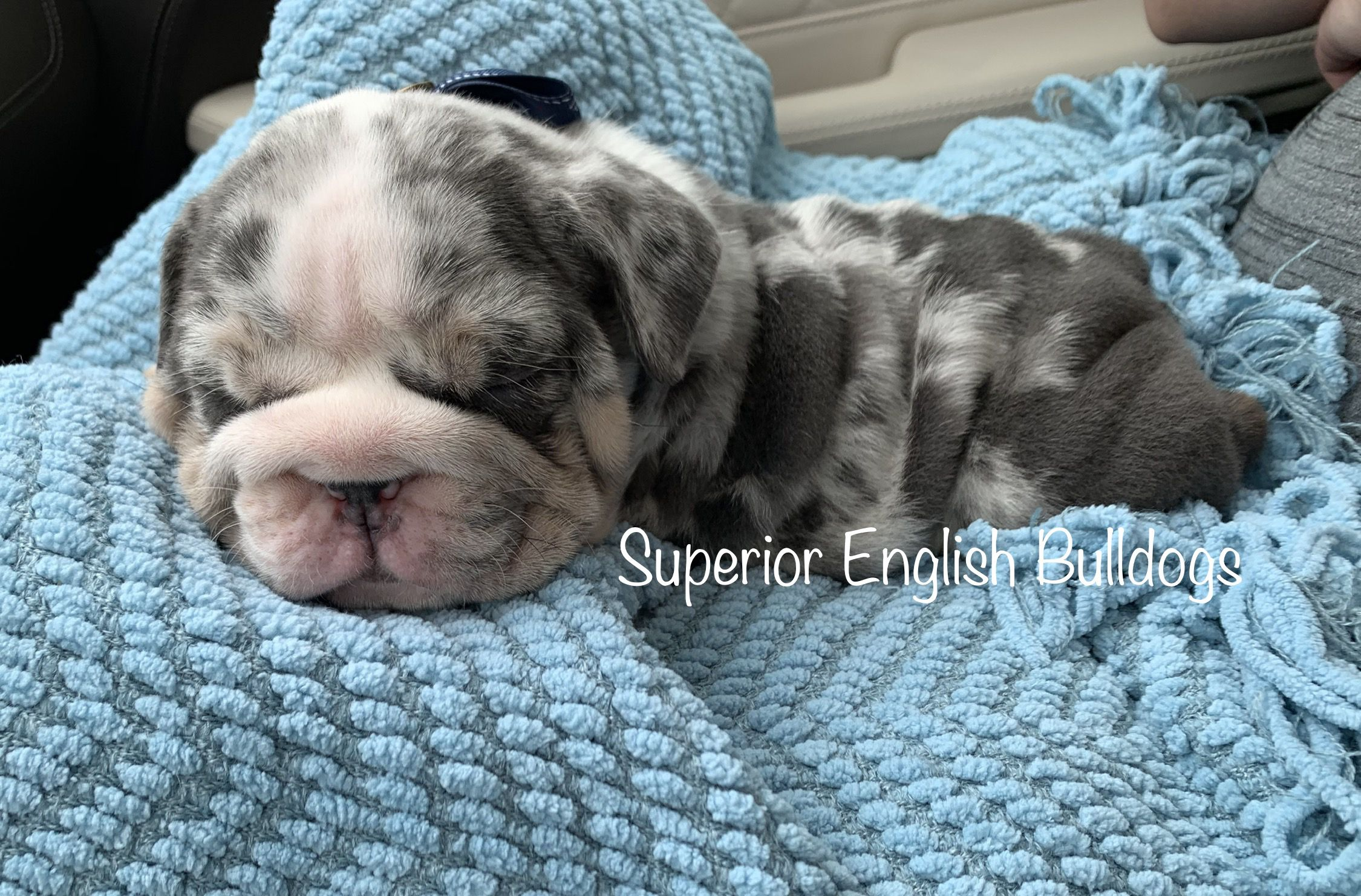 Pin by Superior English Bulldogs on English Bulldogs