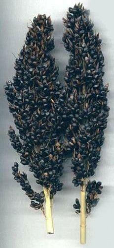 Black Amber Broom Corn 50 Seeds - Ornamental