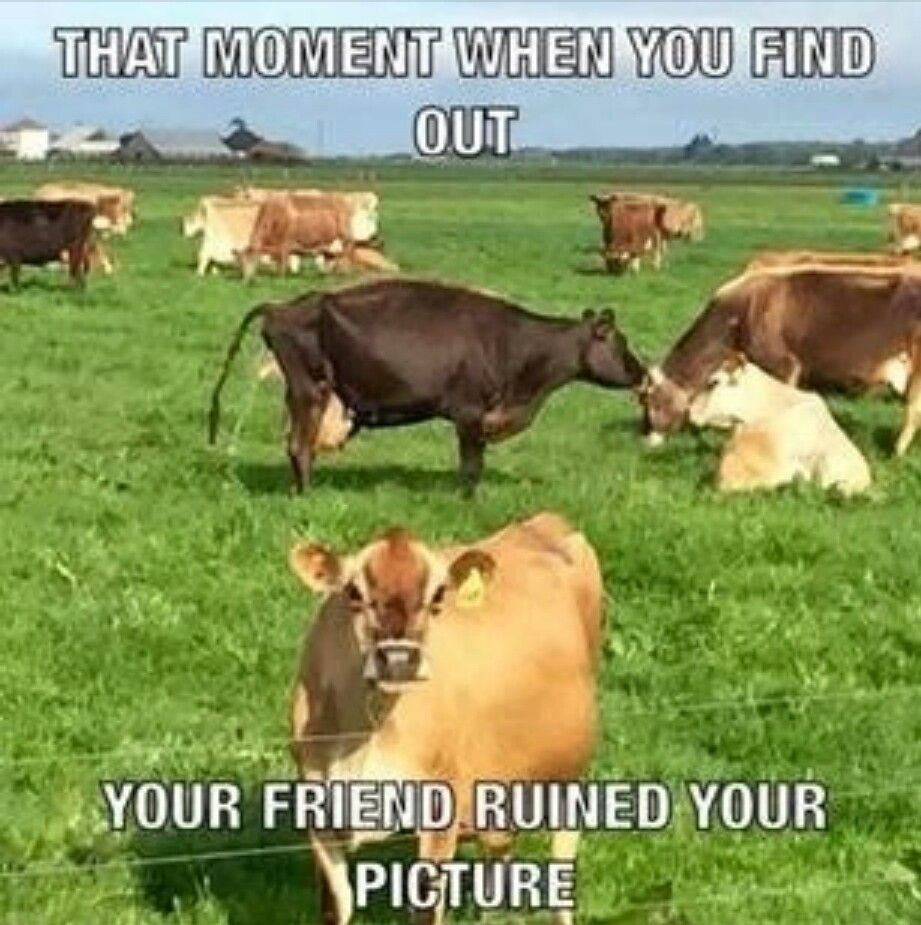 Cat Cow Meme