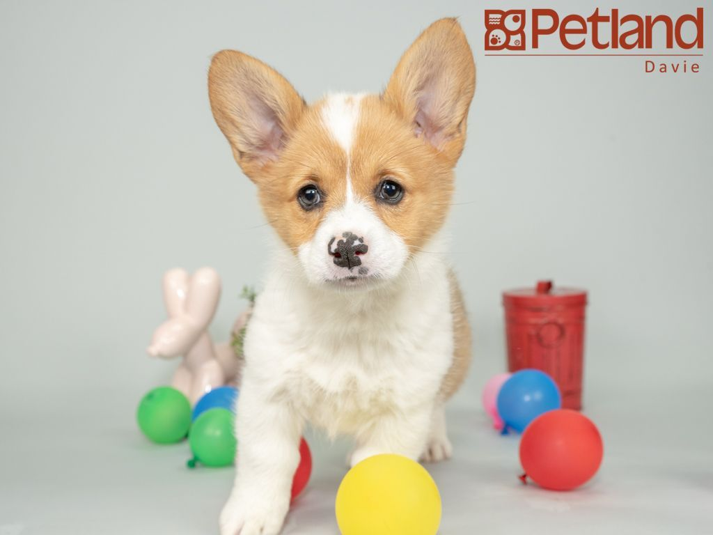 Petland Florida Has Pembroke Welsh Corgi Puppies For Sale