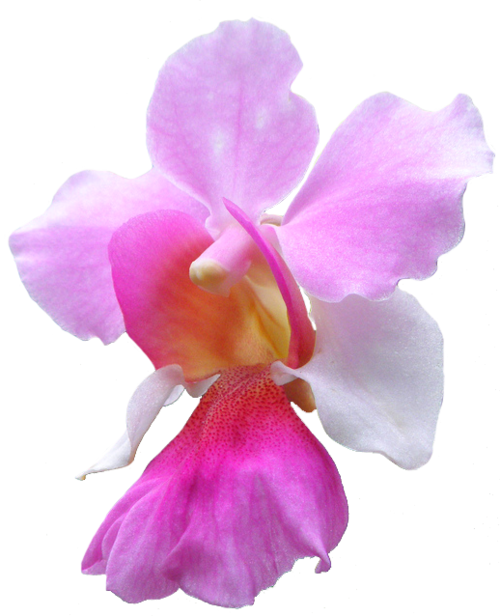 Vanda Miss Joaquim Orchid Orchids Flower Pictures Orchid Care