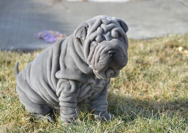 Available Mini Shar Pei Puppies Shipping Nationally Minisharpei