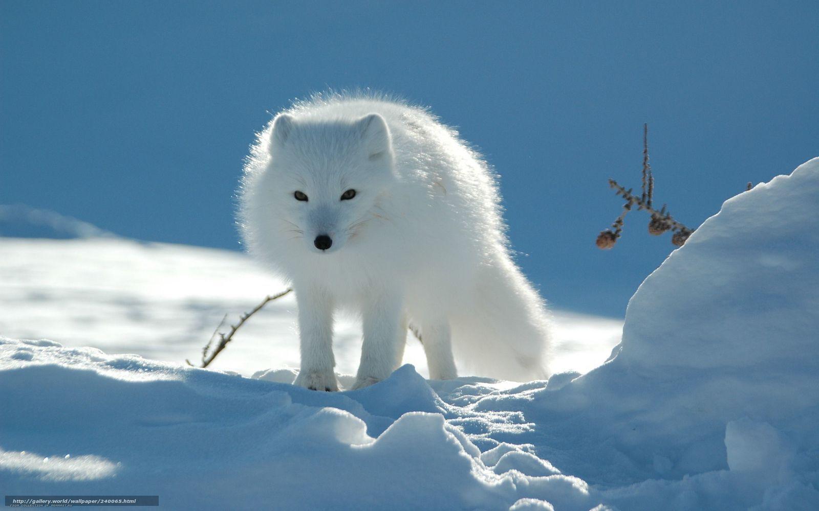 Tlcharger Fond D Ecran Le Renard Arctique Hiver Animal Fonds D Ecran Gratuits Pour Votre Rsolu Animaux Les Plus Mignons Photographie Animaliere Animaux Beaux