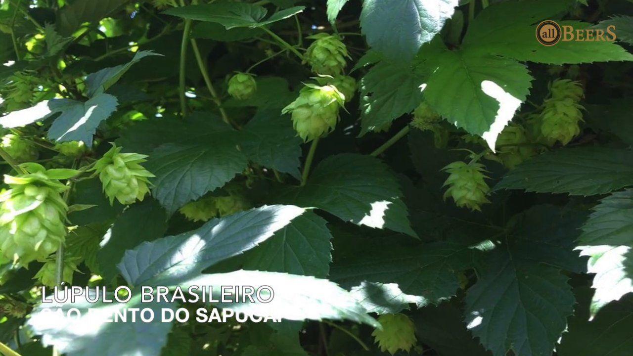 Lúpulo Brasileiro