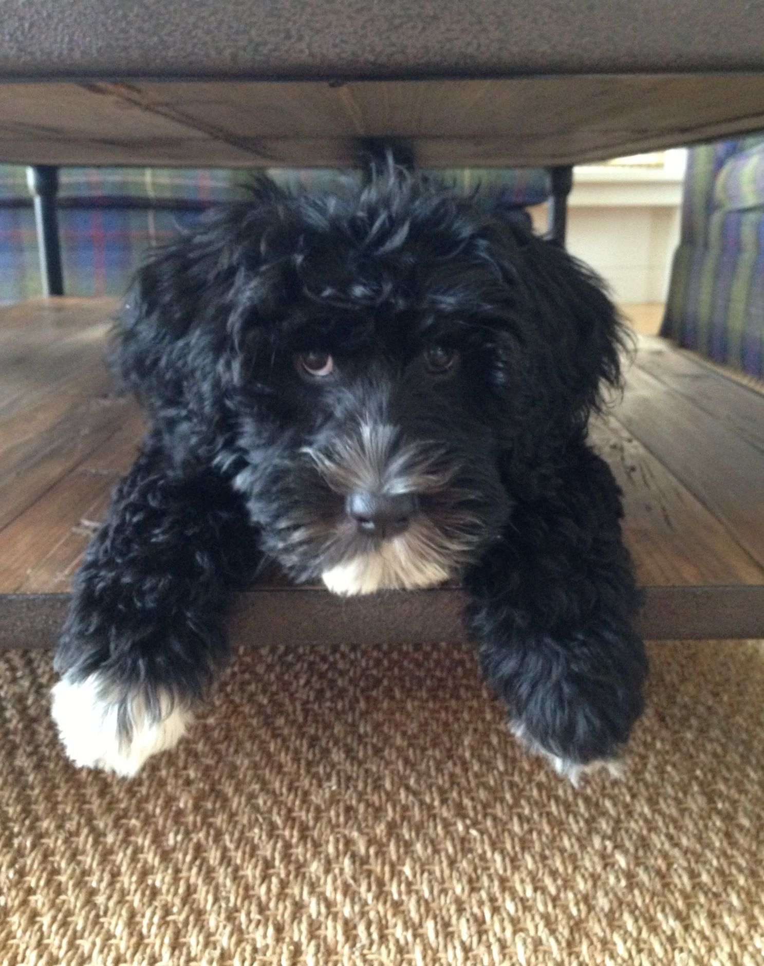 Miss Ivy! The Milly & Grace Girl Puppy! Portuguese Water