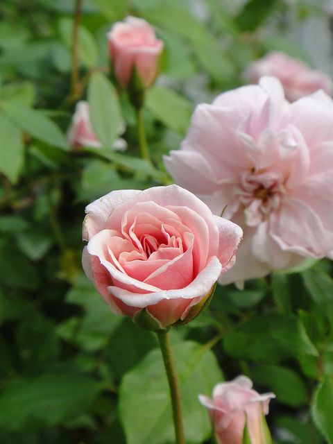 Rose Cecile Brunner. An excellent rose for a buttonhole.