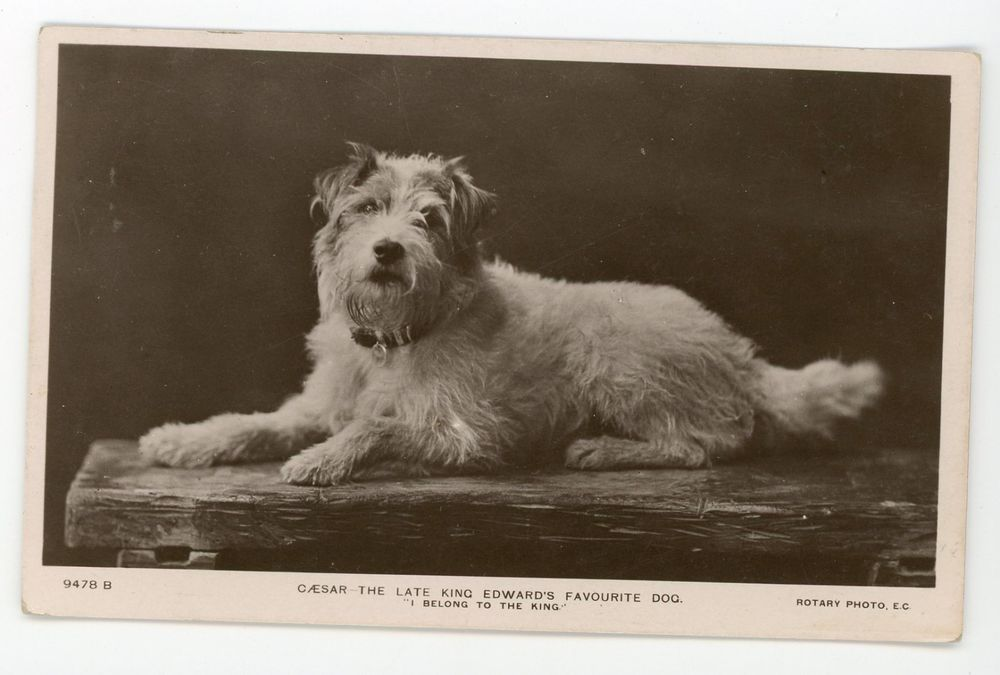 Adorable scruffy terrier pet dog of King Edward. RPPC real