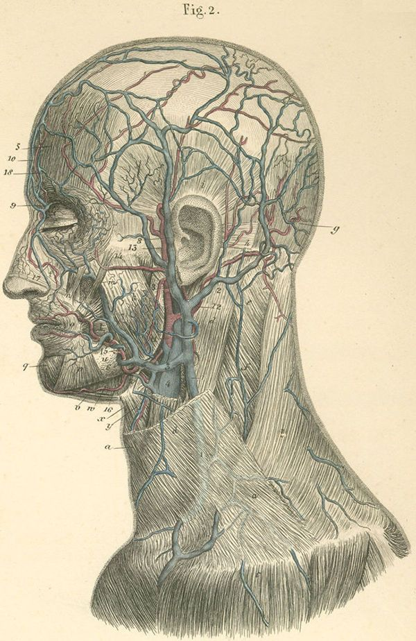 Arteries And Veins On The Left Side Of The Face And Neck Anatoref