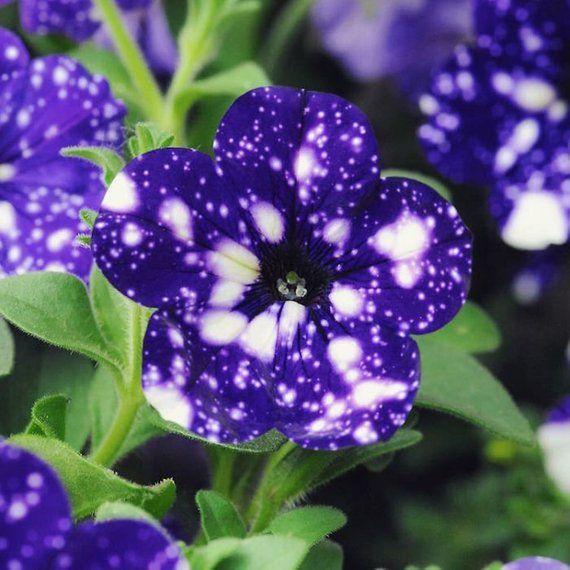 100seeds Moon Night Sky Double Purple Flowers Purple Sky Black