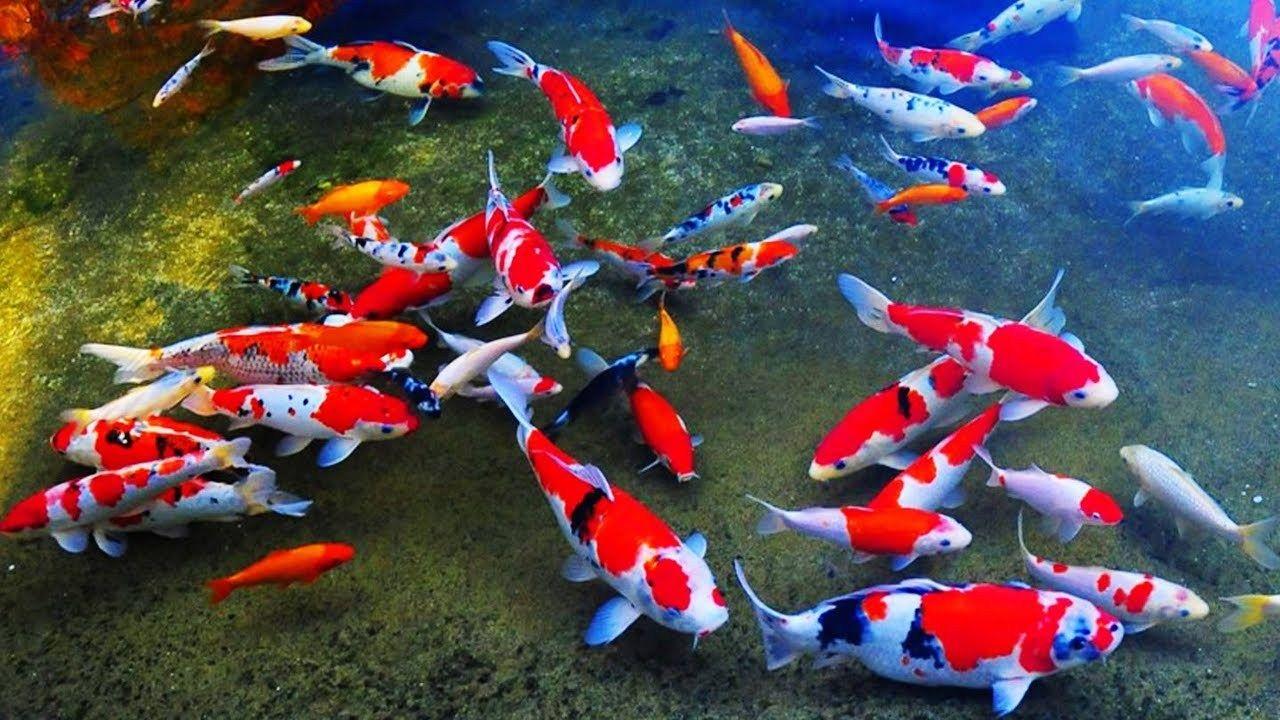 Ikan Koi Ikan Ikan Air Tawar Gambar