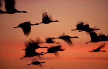 Cranes - Joe Riis