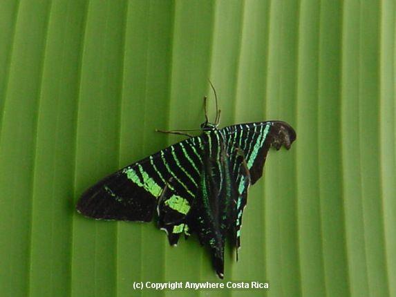 Urania Swallowtail Moth Urania Fulgens Veracruz Mexico South Through Northwestern South America To Ecuador Moth Swallowtail Fauna