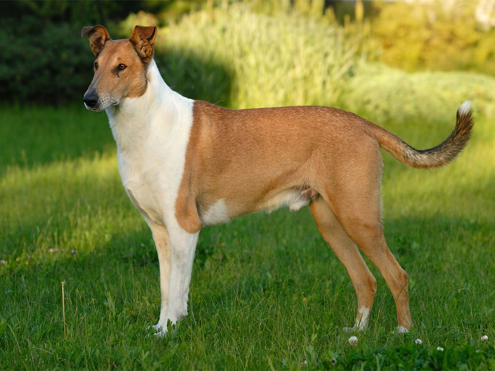 Images Of Beautiful Dogs Beautiful Collie Smooth Dog Photo And