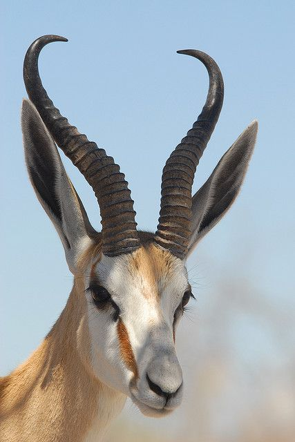 Portrait D Un Gentil Springbok Animals Animals Beautiful Nature Animals