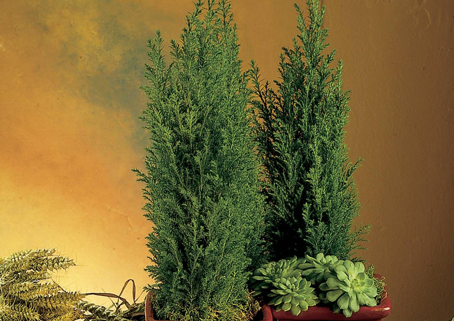 Pieniä ruukkuhavuja myydään yleisimmin marras-joulukuussa talven ja joulun juhla-asetelmiin. Lue hoitovinkit Viherpihasta.
