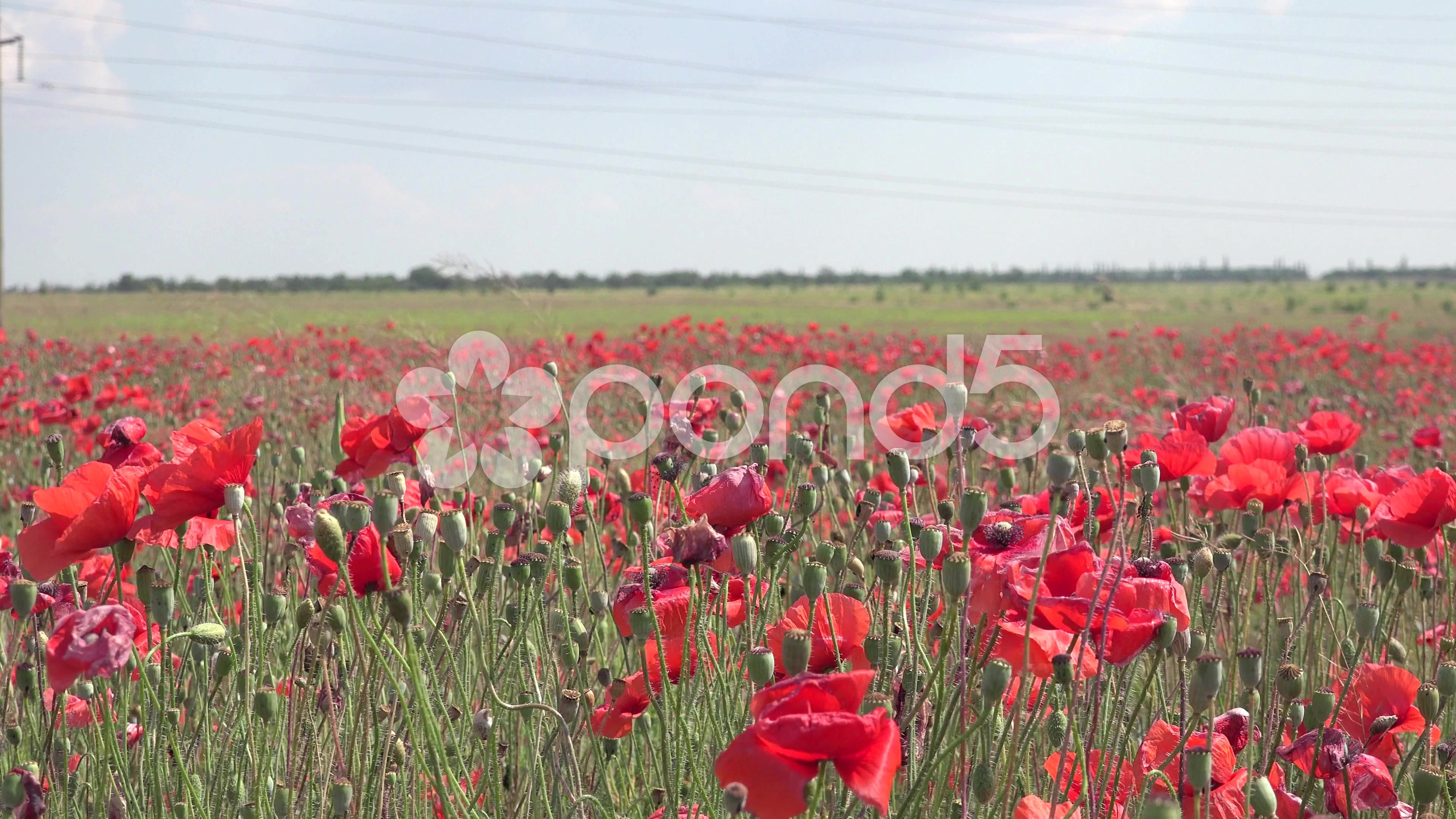 Field Of Red Poppies Agricultural Plants After Flowering Poppy