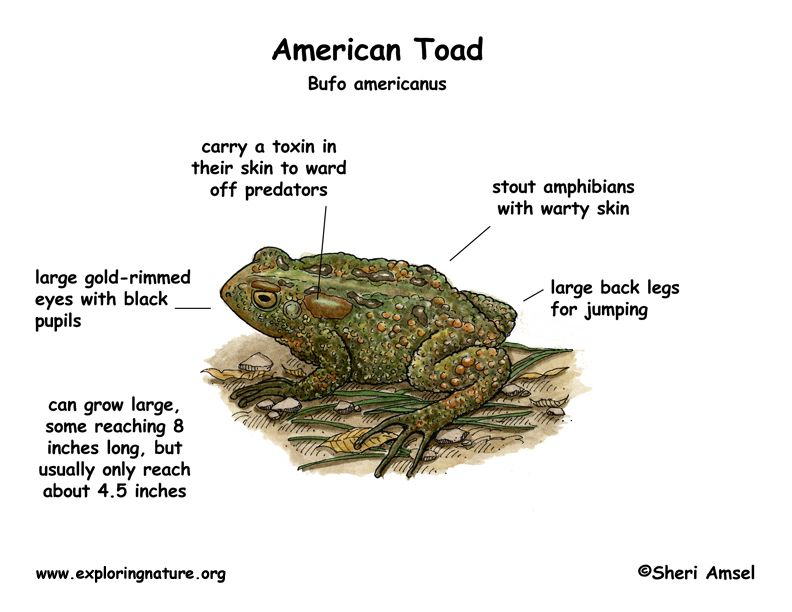 Toads Vs Frogs Google Search Classroom Ideas Pinterest Toad