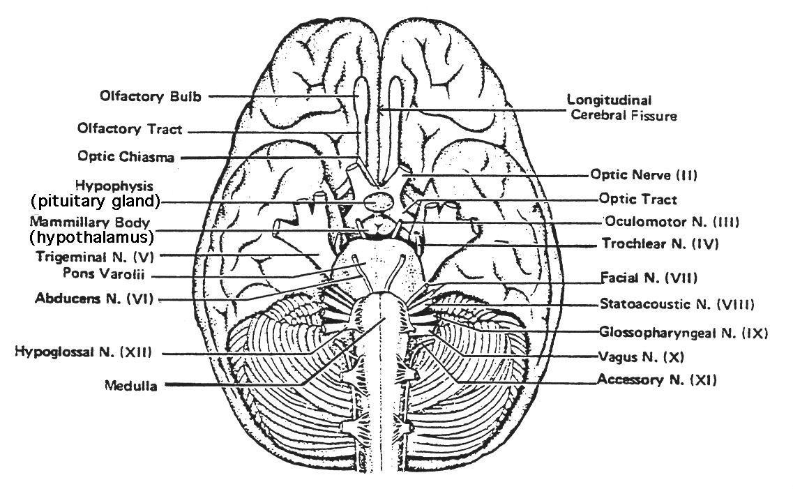 Human Brain Ventral View | Human brain, Brain diagram ...