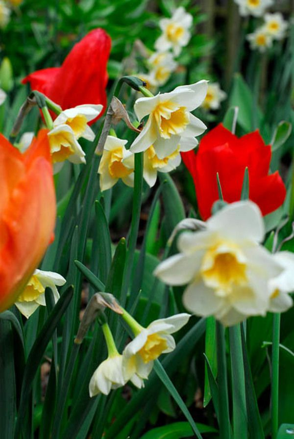 Award winning narcissus bell song is a delightfully fragrant award winning narcissus bell song is a delightfully fragrant daffodil featuring clusters of mightylinksfo