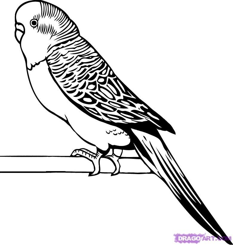 Line Drawing Pictures : Parakeet line drawings google search
