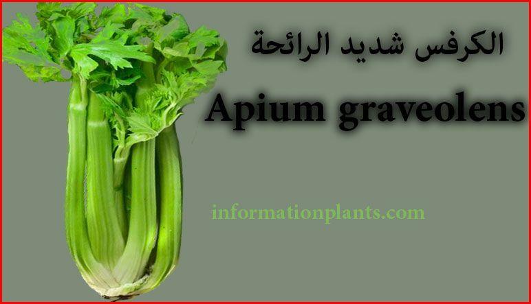 الكرفس شديد الرائحة الخضروات النبات انواع الاسماك مع الصور معلوماتية نبات حيوان اسماك فوائد Vegetables Celery Food