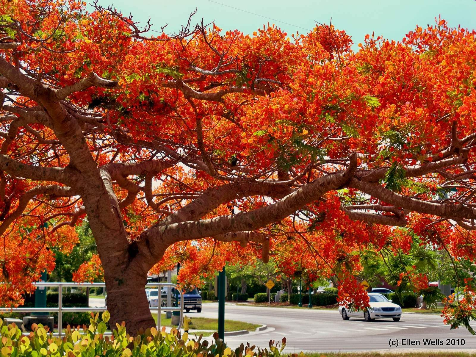 Dark Royal Poinciana Florida Royal Poinciana Florida La Vie Est Belle Pinterest Royal Poinciana Tree Bonsai Royal Poinciana Tree Leaves