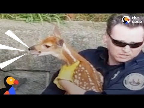Crying Fawn Reunited With His Mom This crying baby deer