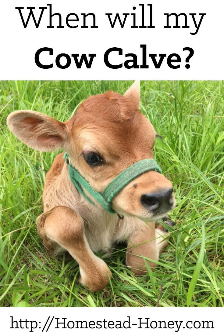 When Will my Cow Calve? Raising farm animals, Cow, Animals