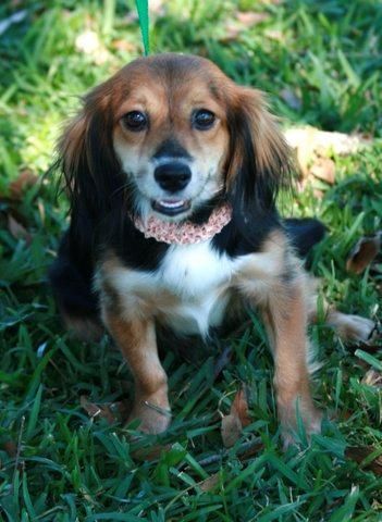 Honey Is An Adoptable Dachshund Beagle Dog In Beaumont Tx Honey