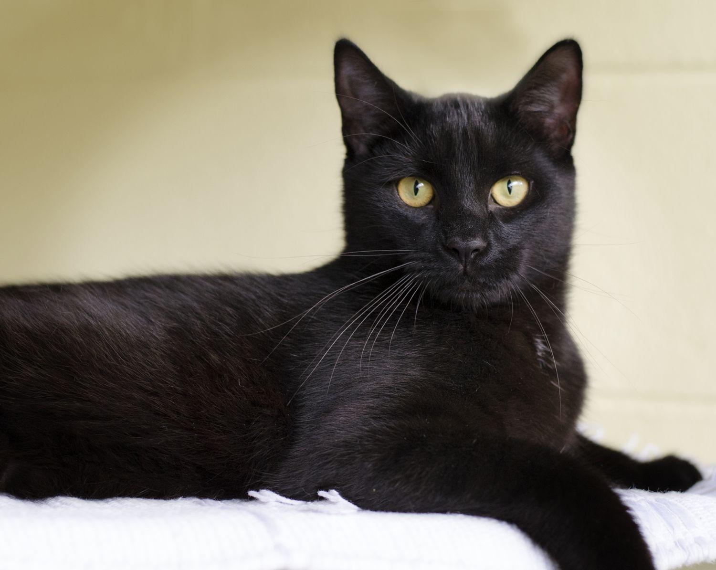 black cat Búsqueda de Google in 2020 Cats, Black cat